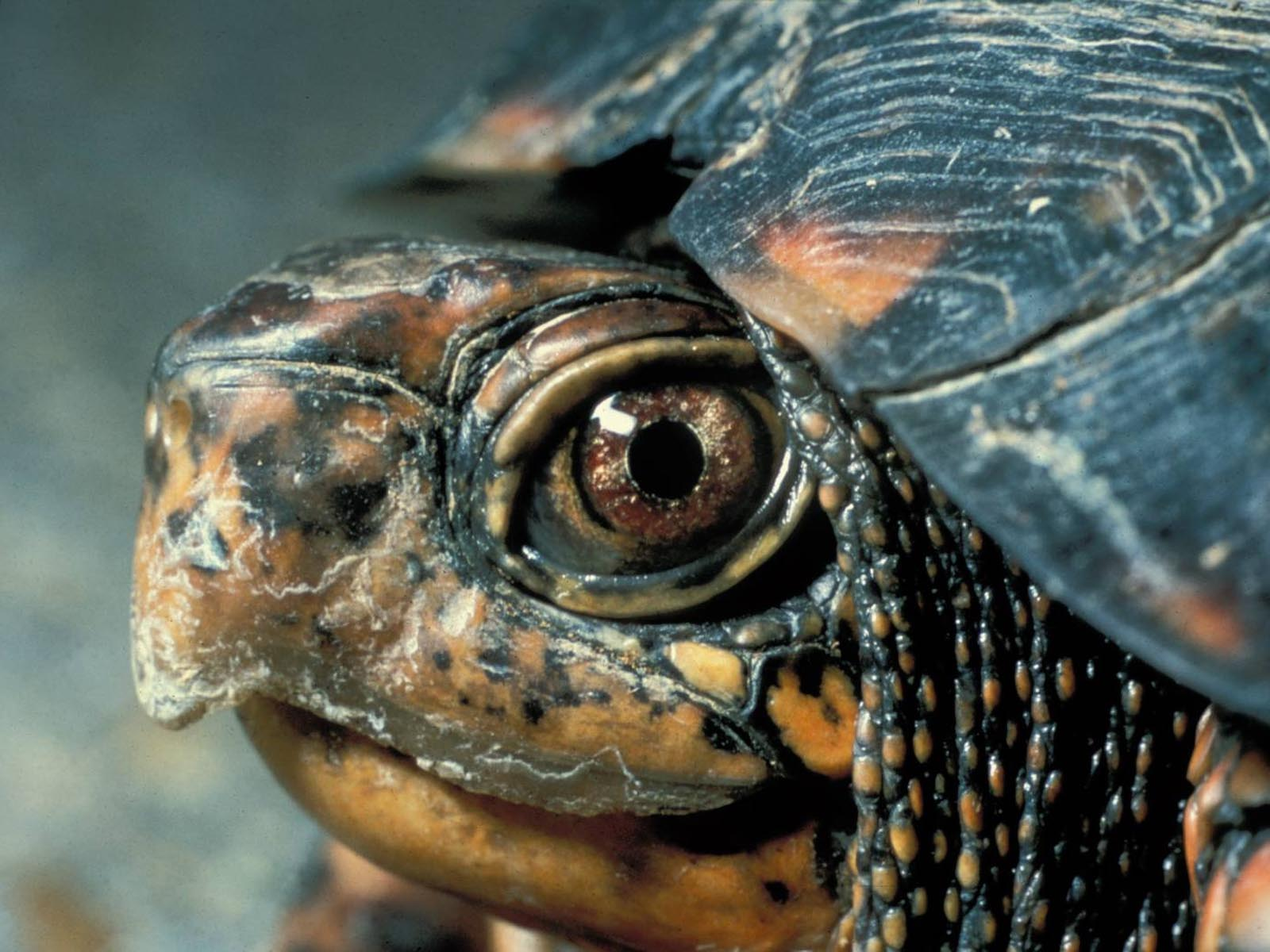 Eastern Box Turtle, Great Smoky Mountains National Park, Tennessee | Photo Credit: NPS