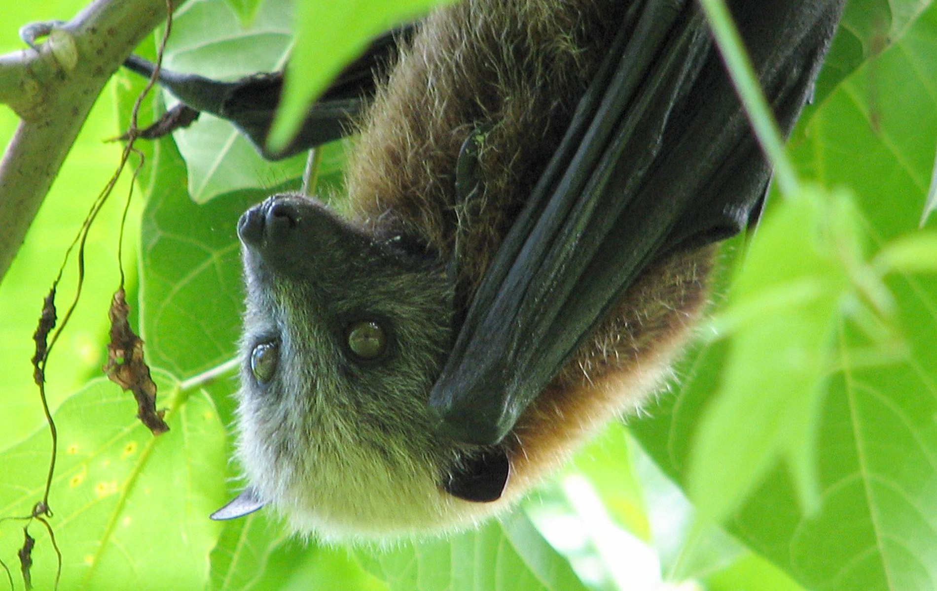 Samoa Flying Fox, National Park of American Samoa | Photo Credit: NPS