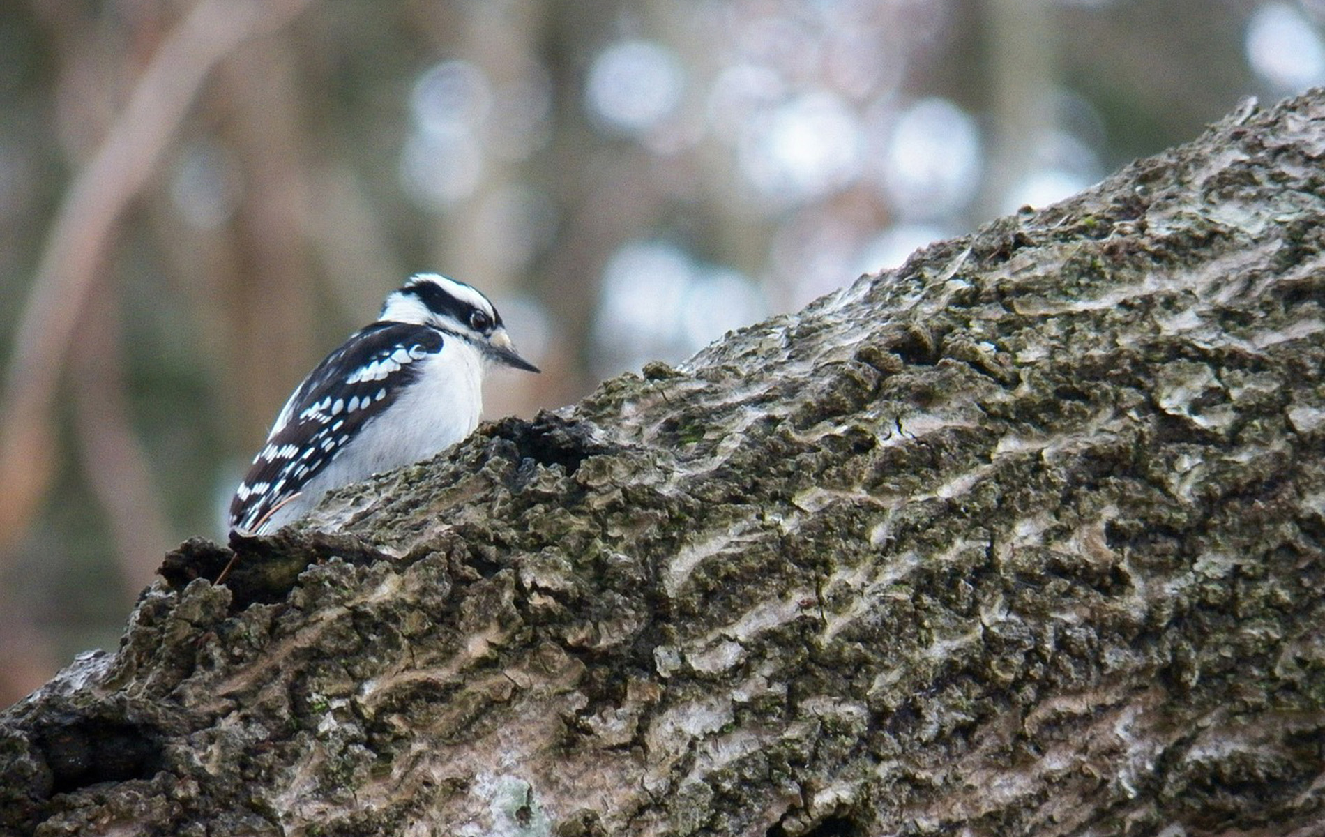 Woodpecker, Acadia National Park, Maine
