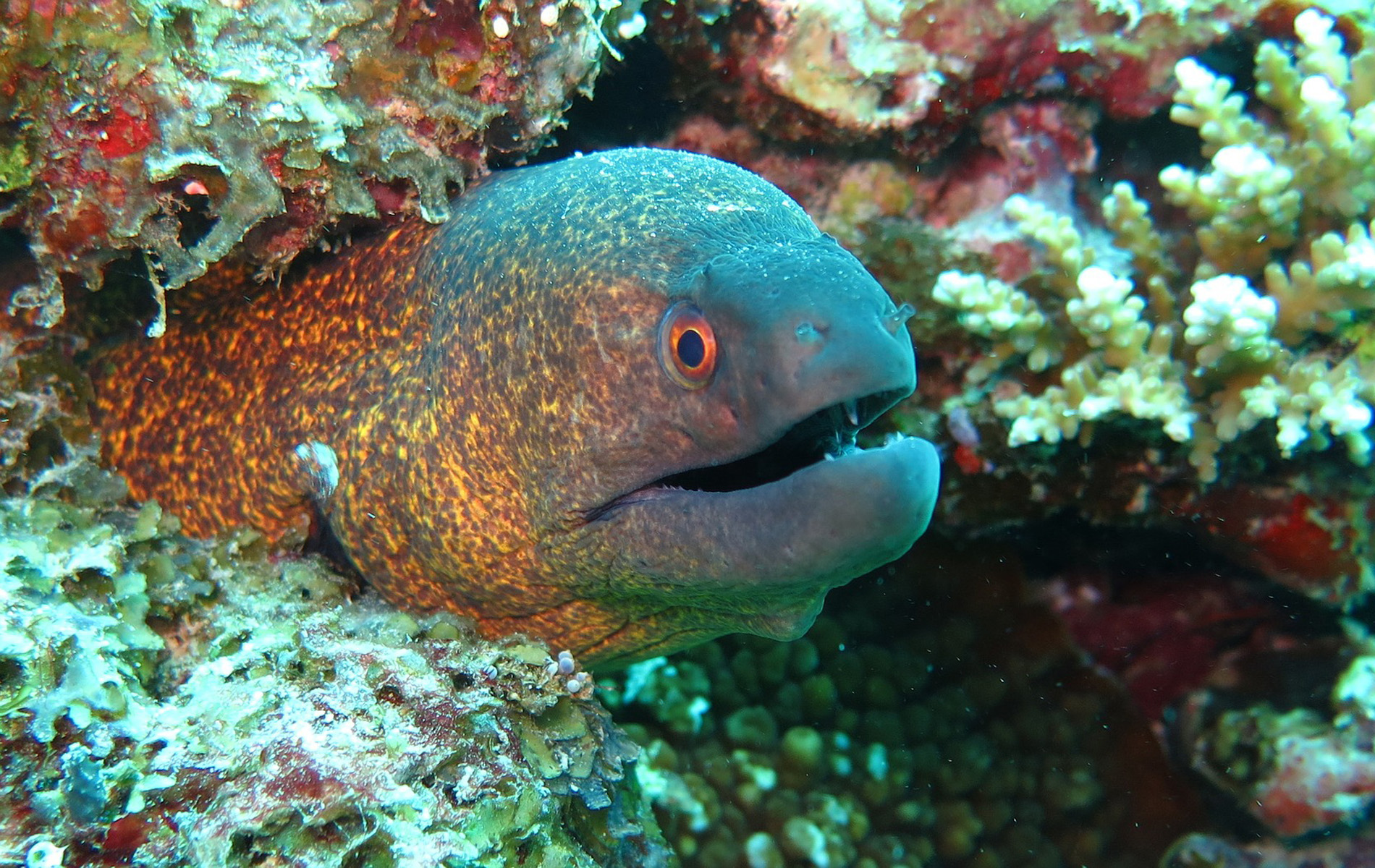Yellowmargine Moray