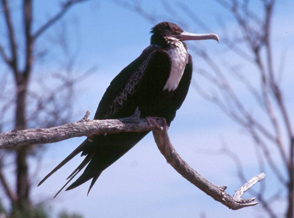 Lesser Frigate Bird, National Park of American Samoa