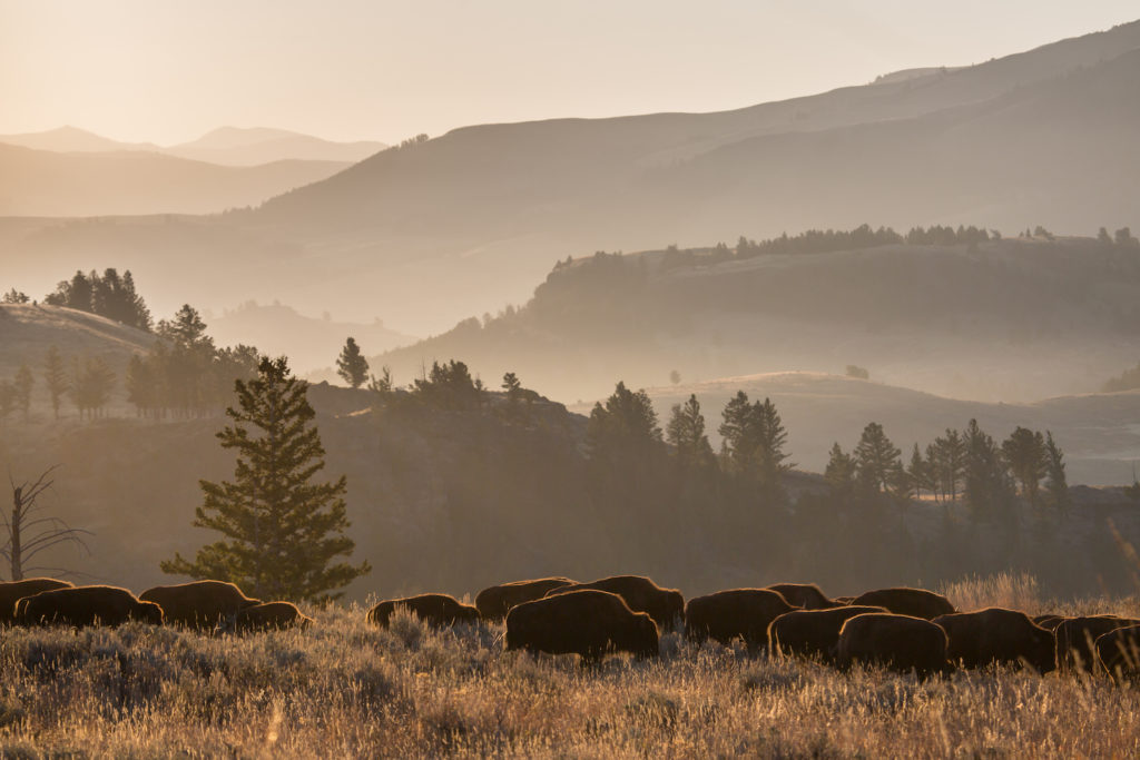 Bison grazing in Lamar Valley, Yellowstone National Park, Wyoming | Photo Credit:  NPS