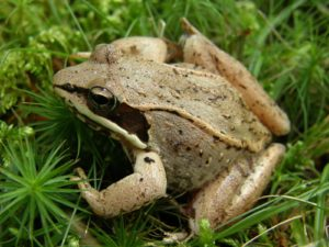 Wood Frog, Acadia National Park, Maine | Photo Credit: NPS