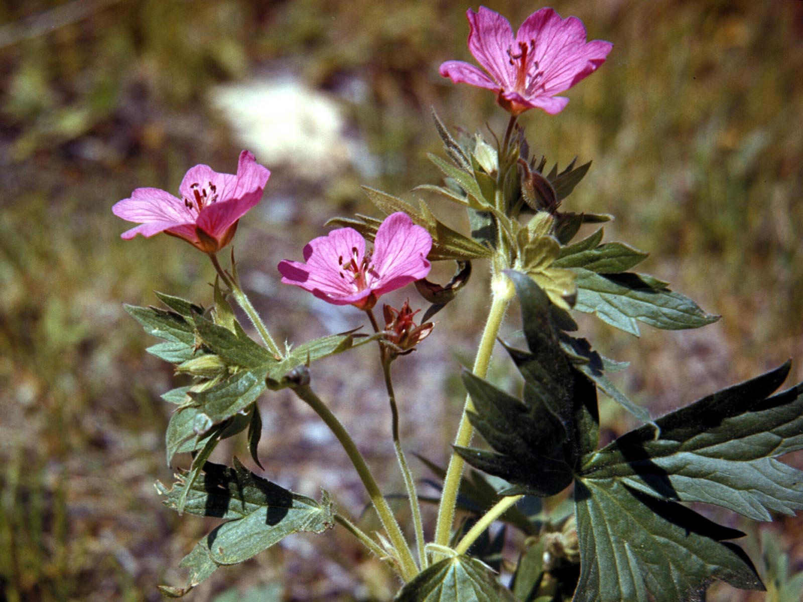 Geranium, Glacier National Park, Montana | Photo Credit: NPS