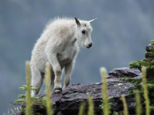 Mountain Goat Kid, Glacier National Park, Montana | Photo Credit: Tim, NPS