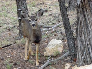 Mule Deer, Grand Canyon National Park, Arizona | Photo Credit: Michael Quinn, NPS