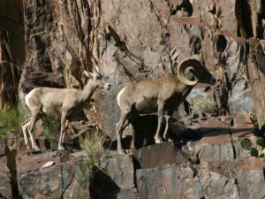 A Pair of Bighorn Sheep, Grand Canyon National Park, Arizona | Photo Credit: Mark Lellouch, NPS