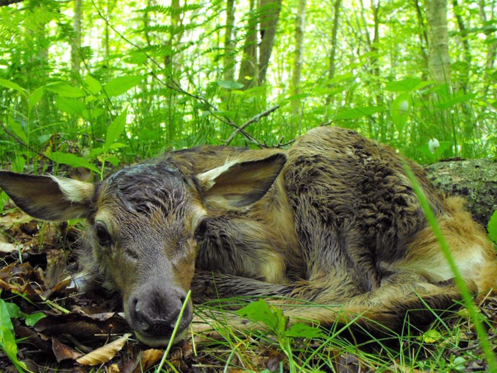 Elk Calf, Great Smoky Mountains National Park, North Carolina/Tennessee | Photo Credit: NPS