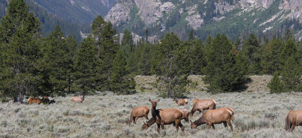 Elk Grazing, Grand Teton National Park, Wyoming | Photo Credit: NPS