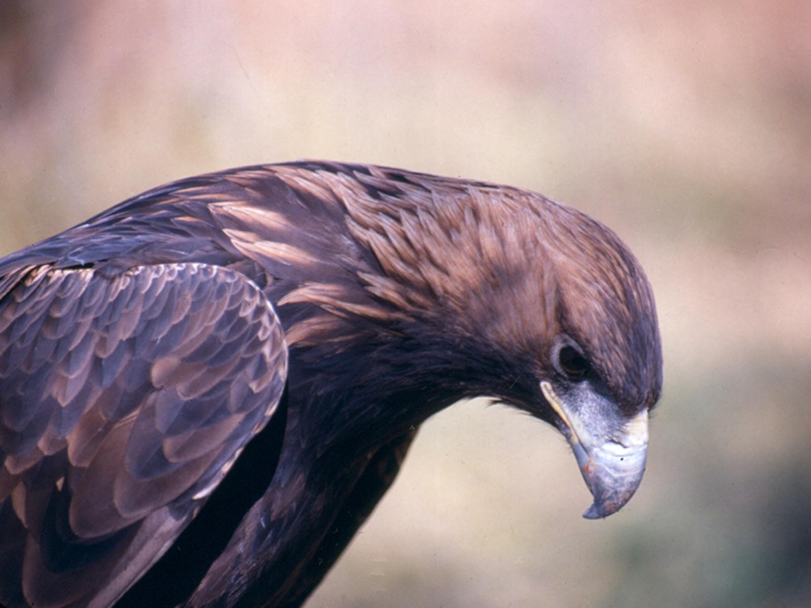 Golden Eagle, Grand Teton National Park, Wyoming | Photo Credit: NPS