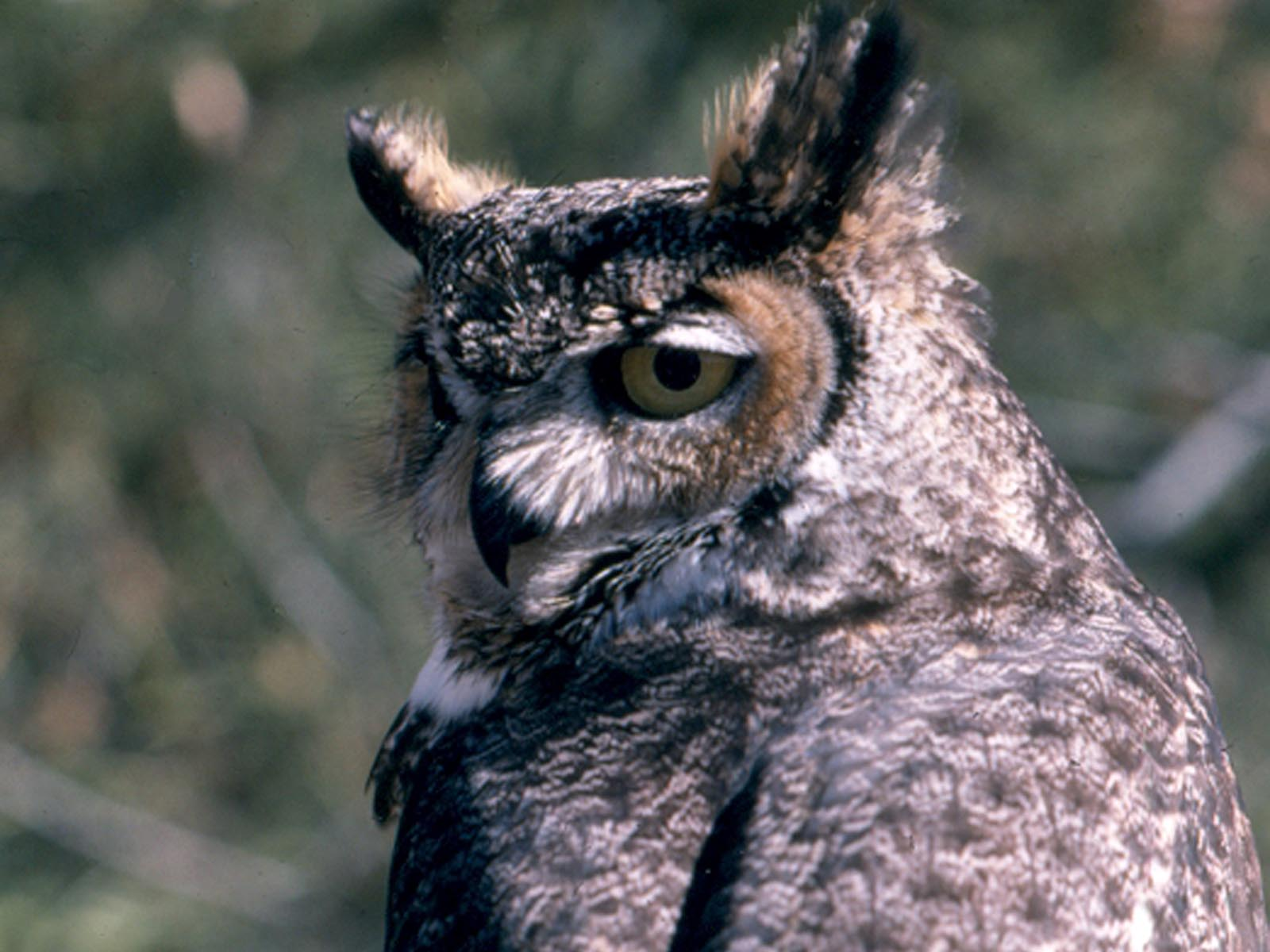 Great Horned Owl, Grand Teton National Park, Wyoming | Photo Credit: NPS