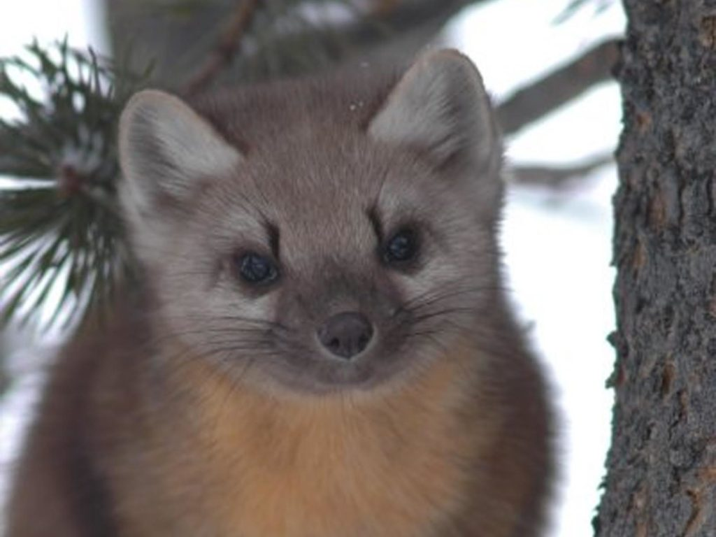 Pine Marten, Grand Teton National Park, Wyoming | Photo Credit: NPS