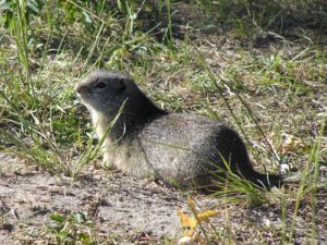Uinta Ground Squirrel, Grand Teton National Park, Wyoming | Photo Credit: NPS