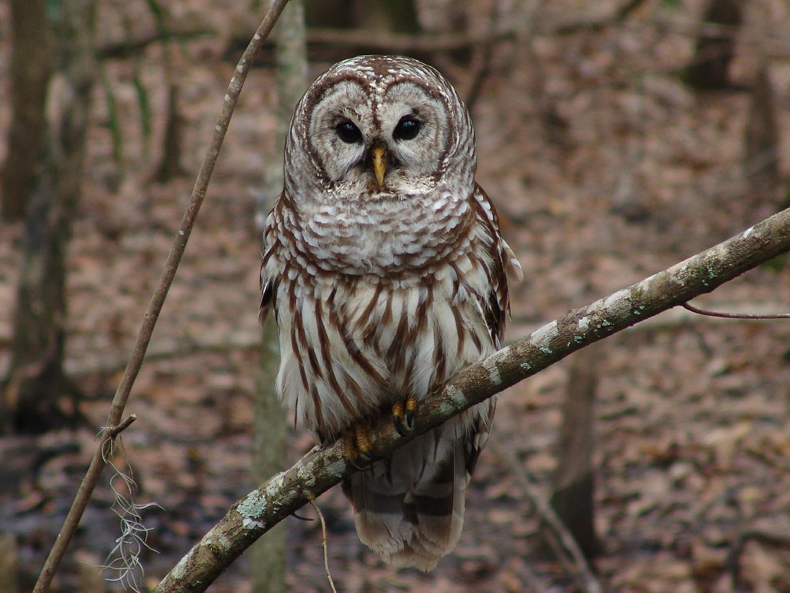 Barred Owl | Photo Credit: Skeeze