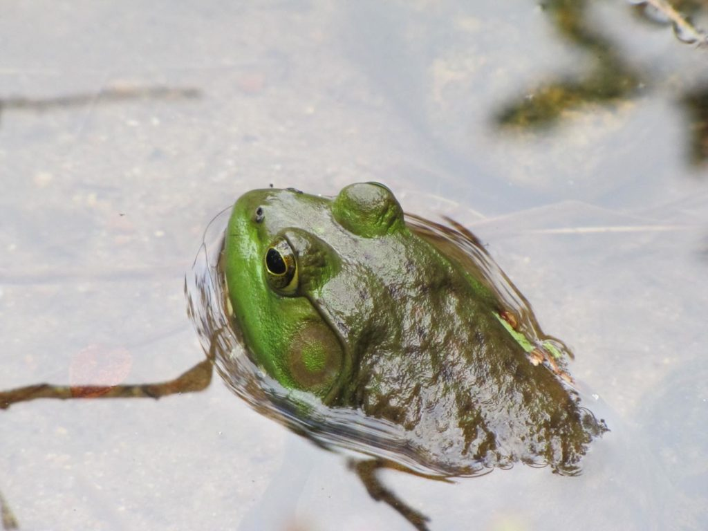 Bullfrog | Photo Credit: Virginia Allain
