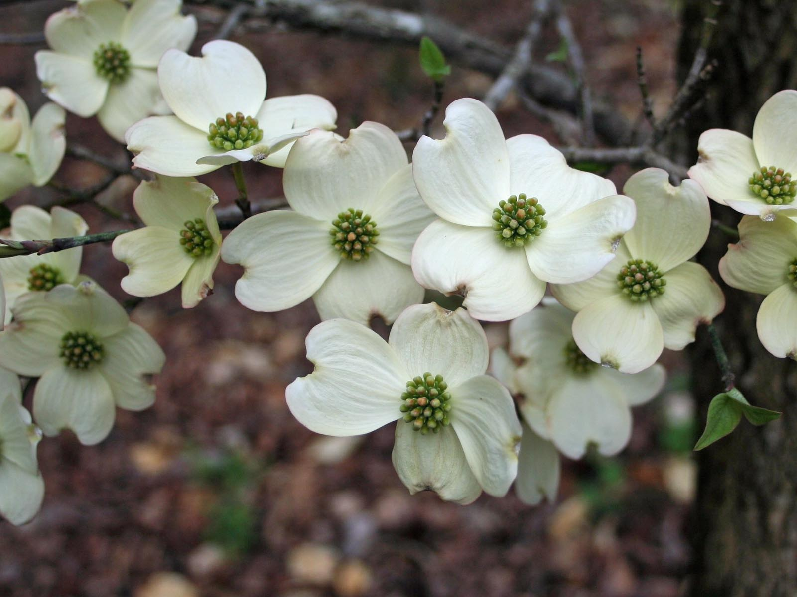 Dogwood | Photo Credit: James DeMers