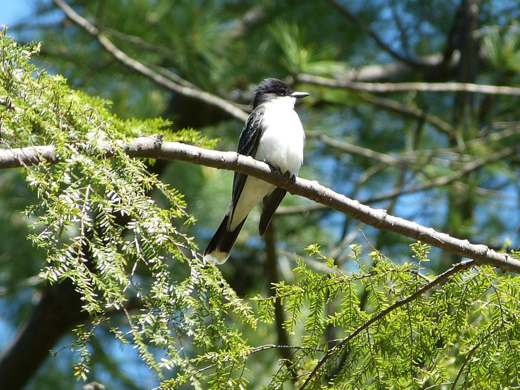 Eastern Kingbird | Photo Credit: Gus Ulrich