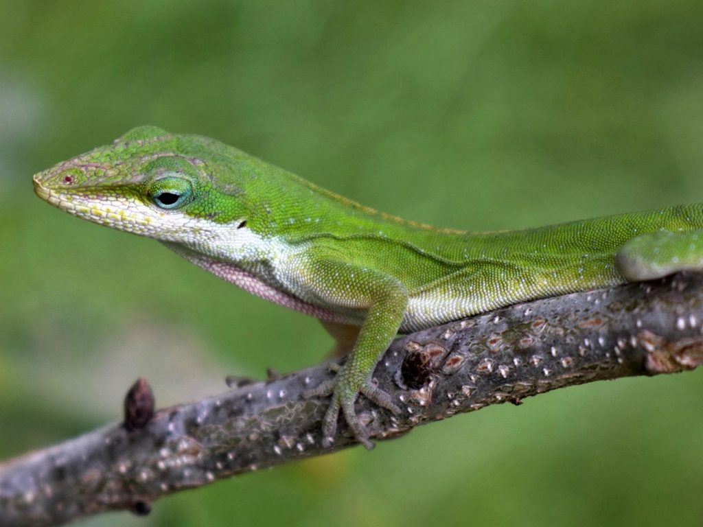 Green Anole | Photo Credit: Brett Hondow