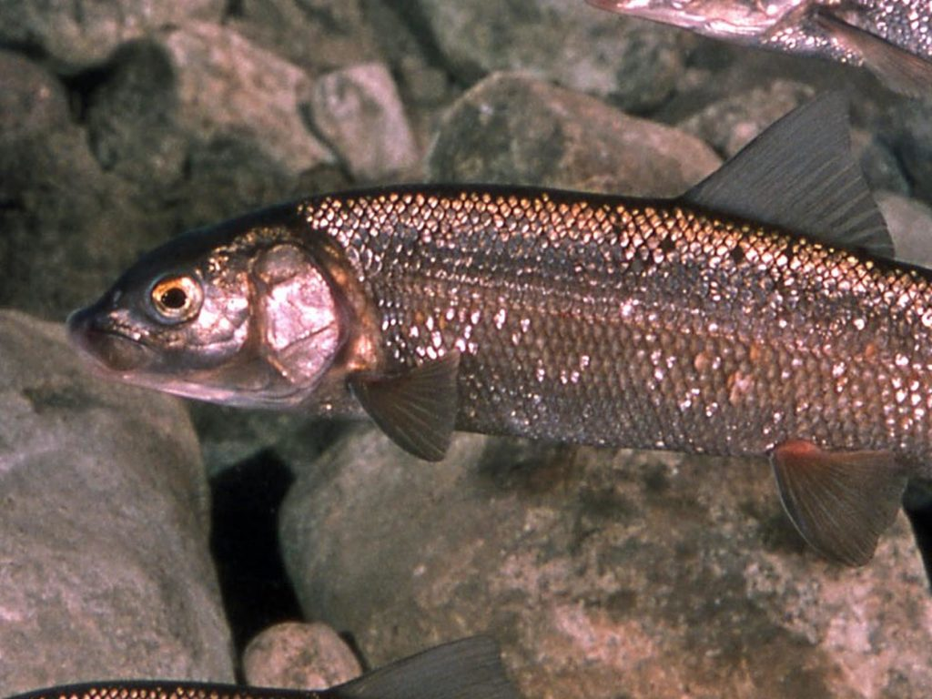 Mountain Whitefish | Photo Credit: Skeeze