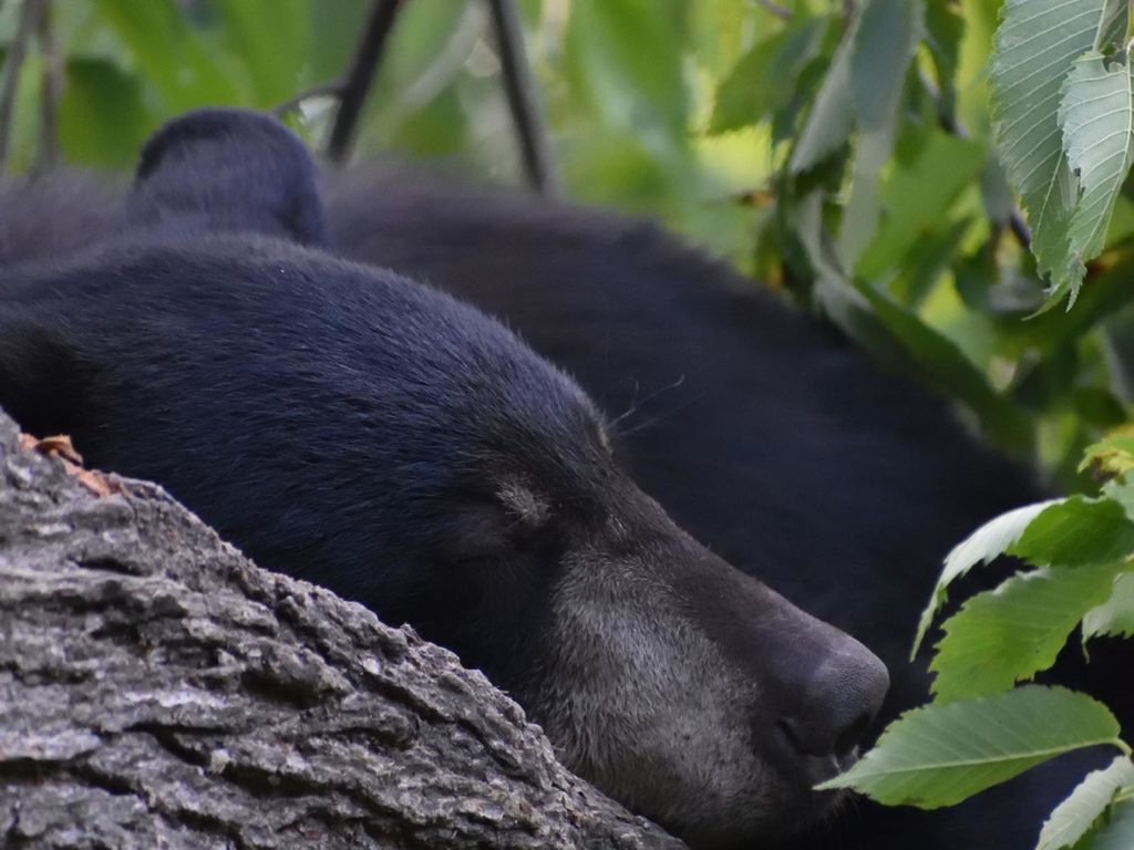Sleeping Black Bear | Photo Credit: Jonathan Miller