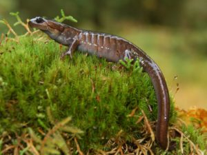 Northwestern Salamander, Olympic National Park, Washington | Photo Credit: Steve Fradkin, NPS
