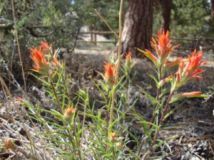 Narrowleaf Paintbrush, Rocky Mountain National Park, Colorado | Photo Credit: CH, NPS