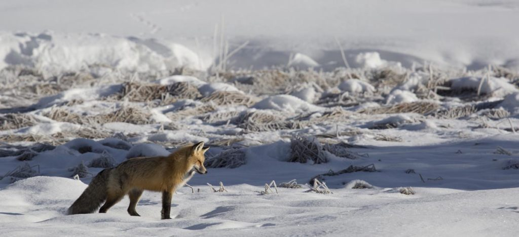 A Red Fox Hunts Near Terrace Spring, Yellowstone National Park, Wyoming | Photo Credit: Neal Herbert, NPS