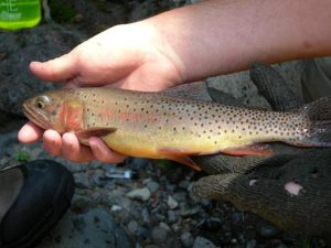 Yellowstone Cutthroat Trout, Yellowstone National Park, Wyoming | Photo Credit: NPS