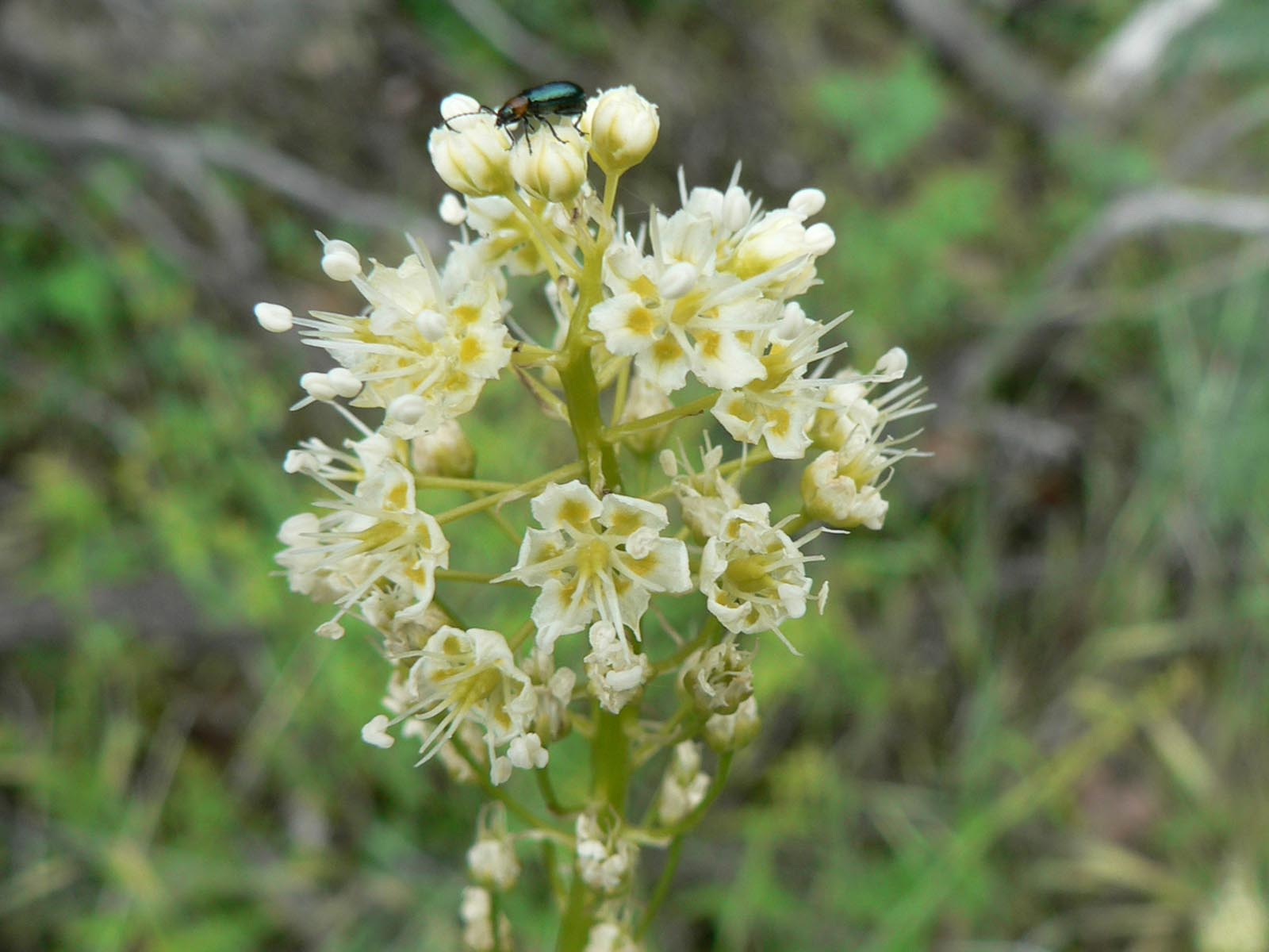 Death Camas (Zigadenus venenosus), Yosemite National Park, California | Photo Credit: NPS