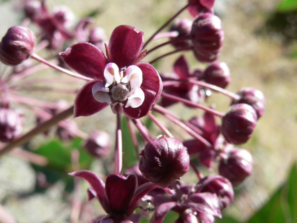 Purple Milkweed (Asclepias cordifolia), Yosemite National Park, California | Photo Credit: NPS