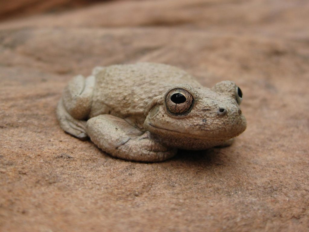 Canyon Treefrog, Zion National Park, Utah | Photo Credit: Caitlin Ceci, NPS