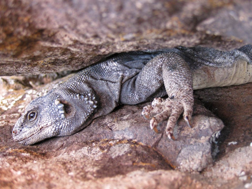 Chuckwalla, Zion National Park, Utah | Photo Credit: Jonathan Fortner, NPS