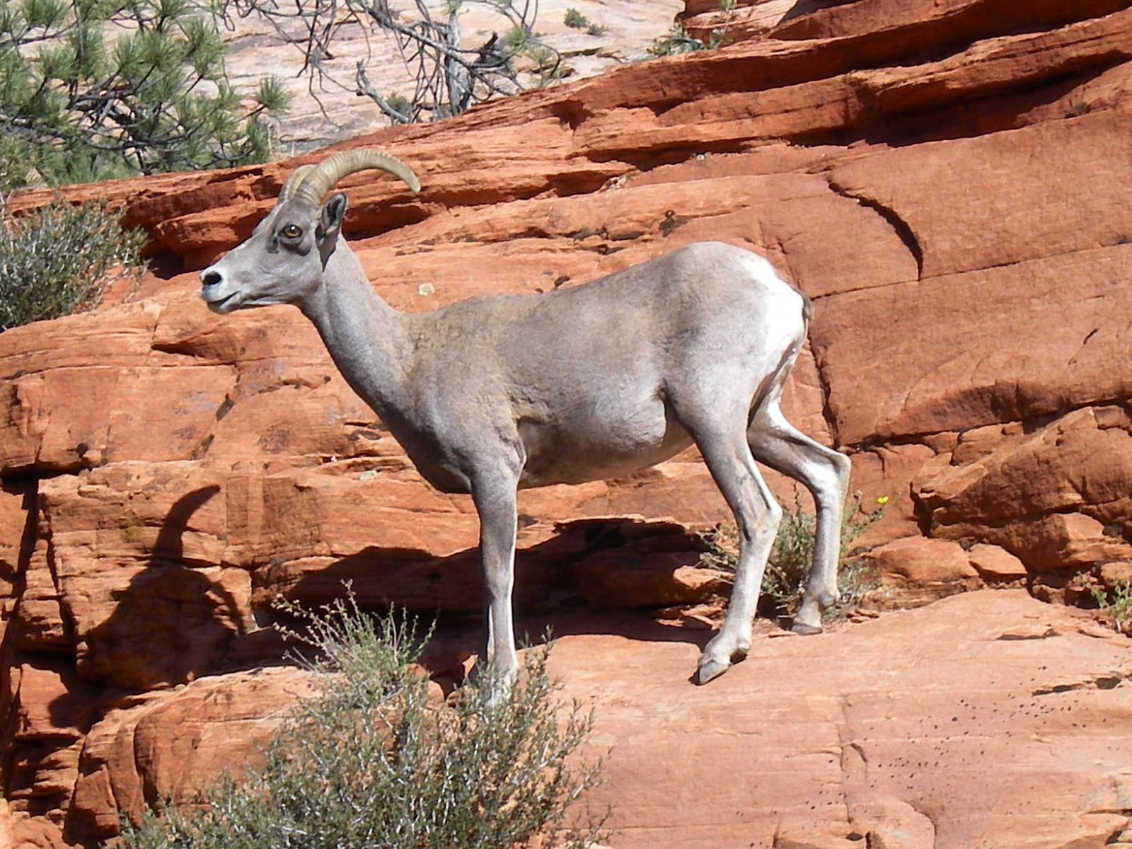 Desert Bighorn Sheep, Zion National Park, Utah | Photo Credit: Katie Raney, NPS