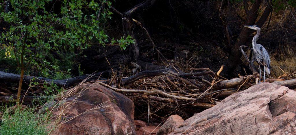 Great Blue Heron, Zion National Park, Utah | Photo Credit: Christopher Gezon, NPS