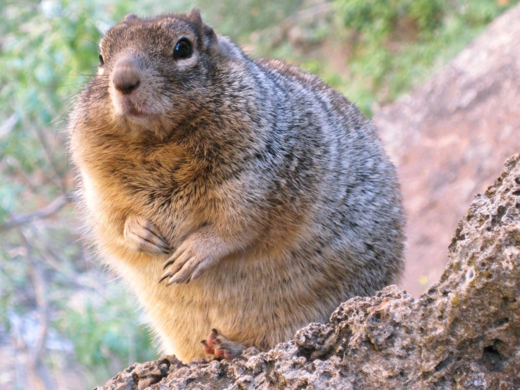 Overfed Rock Squirrel, Zion National Park, Utah | Photo Credit: Ellen Bennet, NPS