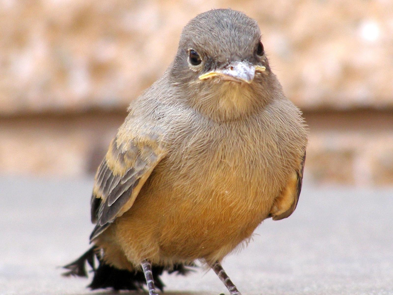 Say's Phoebe, Zion National Park, Utah | Photo Credit: NPS