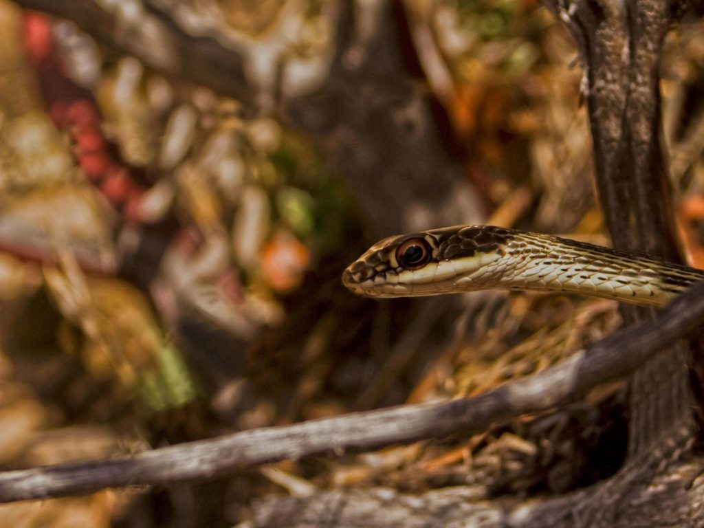 Striped Whipsnake, Zion National Park, Utah | Photo Credit: Jonathan Fortner, NPS