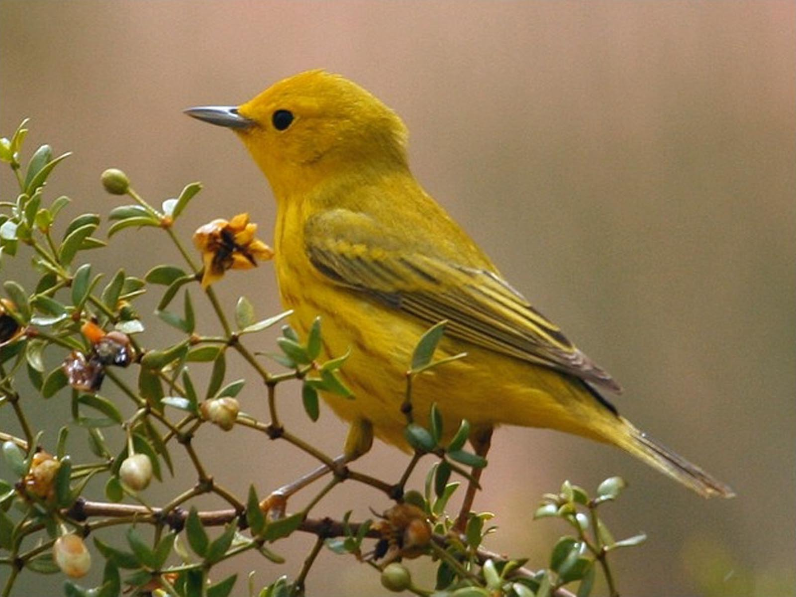 Yellow Warbler, Zion National Park, Utah | Photo Credit: NPS